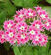2016 HOT SALE neue Ankunfts-Phlox Drummondii cuspidata 200 Samen PHLOX Twinkle Star Haus & Garten Pflanzen Blumen-Samen Freies Verschiffen