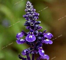 2016new blau Salbei Samen Staude Salbei Samen duftend salvia japonica salvia farinacea, Balkon Blumensamen - 30 Stück