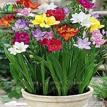 20pcs / bag Freesias Samen, bunt duftende Blume Pflanze herrlich Samen, bunt duftende Blume Pflanzensamen Garten zu Hause