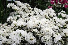 20pcs / bag Japanische Azalee Samen, Rhododendron Azalee, Blumensamen Baumsamen decken Blume 15 Farben DIY Pflanze Hausgarten Bonsai 7
