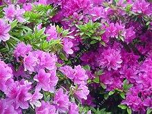 20pcs / bag Japanische Azalee Samen, Rhododendron