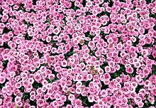 20pcs / bag Japanische Azalee Samen, Rhododendron Azalee, Blumensamen Baumsamen decken Blume 15 Farben 10 DIY Pflanze Hausgarten Bonsai