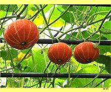 20pcs / bag Rare Kürbiskerne Cucurbita Golddraht Kürbis saftig Bio Bonsai Gemüse kriechende Obstgarten Pflanze Leicht 7 wachsen