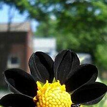 20Pcs Black Dahlia Seeds Seltene lebensfähige