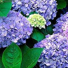 20pcs Hydrangea Blumensamen Multi Color Hochzeit