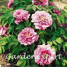20pcs rosa Pfingstrosen-Samen Baum-Pfingstrose Samen Pfingstrose 'Yachiyotsubaki' Blumensamen Bonsai Pflanze DIY Hausgarten