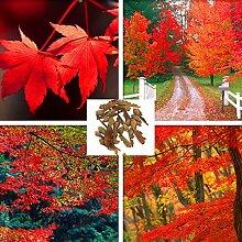 20pcs Zucker-Ahorn Baum Samen Kanada Acer Saccharum Seeds