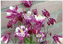 20x Akelei Winky Red-White-Samen Garten Pflanze