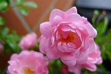 20x Bodendeckerrose Rosa The Fairy reich blühende