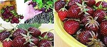 20x F1 lila Erdbeeren Neuheit Samen Garten süß essbar neu Pflanze Obst Rarität essbar Obst frisches Saatgut Neuheit Garten frische Samen #407