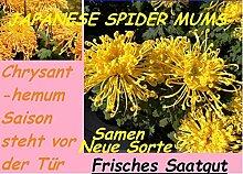 20x Japanese Spider Mums Gelb-Orange Blumen Samen Saatgut Hingucker Pflanze Neu #8