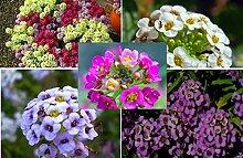 20x Sweet Alyssum Samen Garten Blumen Bienen Blumen Pflanze bunt leichte Aussaat #393