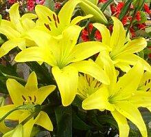 21: 50 Teile/paket Pflanzen Topf Lilie Blumensamen