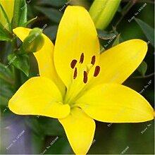 21: Neue 50 Teile/beutel Lilie Blumensamen Parfüm