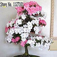 23: 100 Teile/beutel 22 arten Azalee Blumensamen