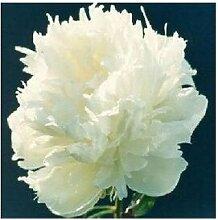 24 Arten Hübsche Pfingstrose sät 15pcs / pack Qualitäts-Pfingstrosen-Blumen-Samen für den Hausgarten 2