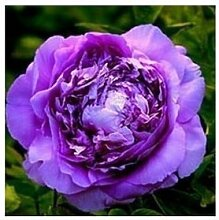 24 Arten Hübsche Pfingstrose sät 15pcs / pack Qualitäts-Pfingstrosen-Blumen-Samen für den Hausgarten 12