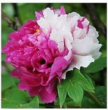 24 Arten Hübsche Pfingstrose sät 15pcs / pack Qualitäts-Pfingstrosen-Blumen-Samen für den Hausgarten 13