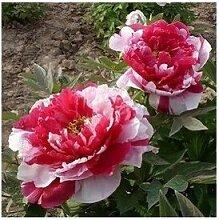 24 Arten Hübsche Pfingstrose sät 15pcs / pack Qualitäts-Pfingstrosen-Blumen-Samen für den Hausgarten 18