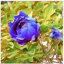 24 Arten Hübsche Pfingstrose sät 15pcs / pack Qualitäts-Pfingstrosen-Blumen-Samen für den Hausgarten 1