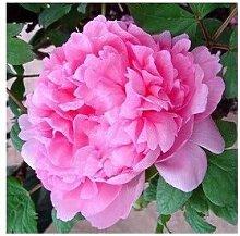 24 Arten Hübsche Pfingstrose sät 15pcs / pack Qualitäts-Pfingstrosen-Blumen-Samen für den Hausgarten 10