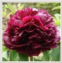24 Arten Hübsche Pfingstrose sät 15pcs / pack Qualitäts-Pfingstrosen-Blumen-Samen für den Hausgarten 7