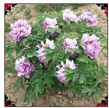 24 Arten Hübsche Pfingstrose sät 15pcs / pack Qualitäts-Pfingstrosen-Blumen-Samen für den Hausgarten 20