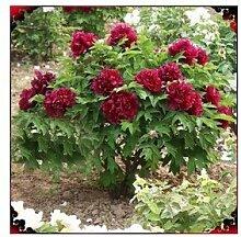 24 Arten Hübsche Pfingstrose sät 15pcs / pack Qualitäts-Pfingstrosen-Blumen-Samen für den Hausgarten