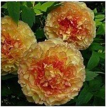 24 Arten Hübsche Pfingstrose sät 15pcs / pack Qualitäts-Pfingstrosen-Blumen-Samen für den Hausgarten 23