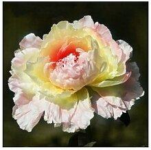 24 Arten Hübsche Pfingstrose sät 15pcs / pack Qualitäts-Pfingstrosen-Blumen-Samen für den Hausgarten 21