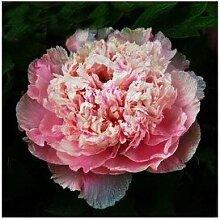 24 Arten Hübsche Pfingstrose sät 15pcs / pack Qualitäts-Pfingstrosen-Blumen-Samen für den Hausgarten 16