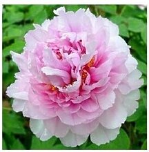 24 Arten Hübsche Pfingstrose sät 15pcs / pack Qualitäts-Pfingstrosen-Blumen-Samen für den Hausgarten 14