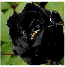 24 Arten Hübsche Pfingstrose sät 15pcs / pack Qualitäts-Pfingstrosen-Blumen-Samen für den Hausgarten 17