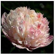 24 Arten Hübsche Pfingstrose sät 15pcs / pack Qualitäts-Pfingstrosen-Blumen-Samen für den Hausgarten 15