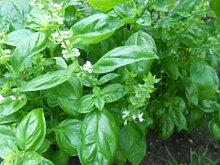 25.000 Samen Basilikum (Ocimum basilicum)