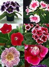 25+ Gloxinie Empress Mix Blumensamen