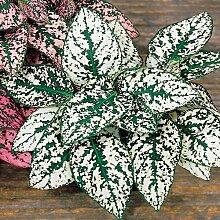 25+ Hypoestes weiße Tupfen-Pflanze