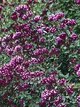 25+ ORNAMENTAL OREGANO Blumensamen
