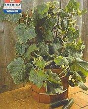 25 Samen Gurkensalat Bush Gemüsesamen