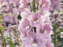25 + Samen/Pack Magic Fountains Kirschblüte