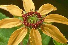 25 Samen   Schokolade Daisy   Schokoladenblume  