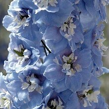25+Seeds/Pack Magic Fountains Sky Blue W/White Bee
