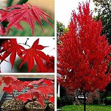 25 StŸck amerikanische Rote Ahornbaum-Samen