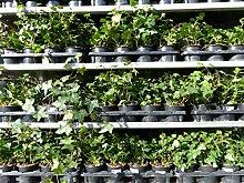 25 Stück Efeu Hedera helix 20-35 cm Heckenpflanze