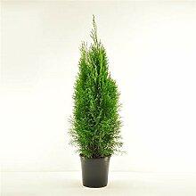 25 Stück Thuja occidentalis Smaragd ca. 40 cm