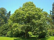 25 x Bergahorn, Ahorn (Acer pseudoplatanus) 50 -