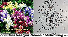 25x Aquilegia Viridiflora Pall bunt Samen Garten Blumen Pflanze Saatgut Rarität Neuheit #14
