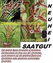 25x Cymbidium Floribundum Orchideen Samen Blume Pflanze Rarität Kahnorchideen #31