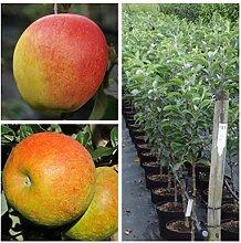 2er-Set! Apfelbaum Rebella (R) + Pinova (R)