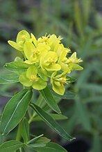 2er-Set - Euphorbia palustris - winterhart - Sumpfwolfsmilch, gelb - Wasserpflanzen Wolff